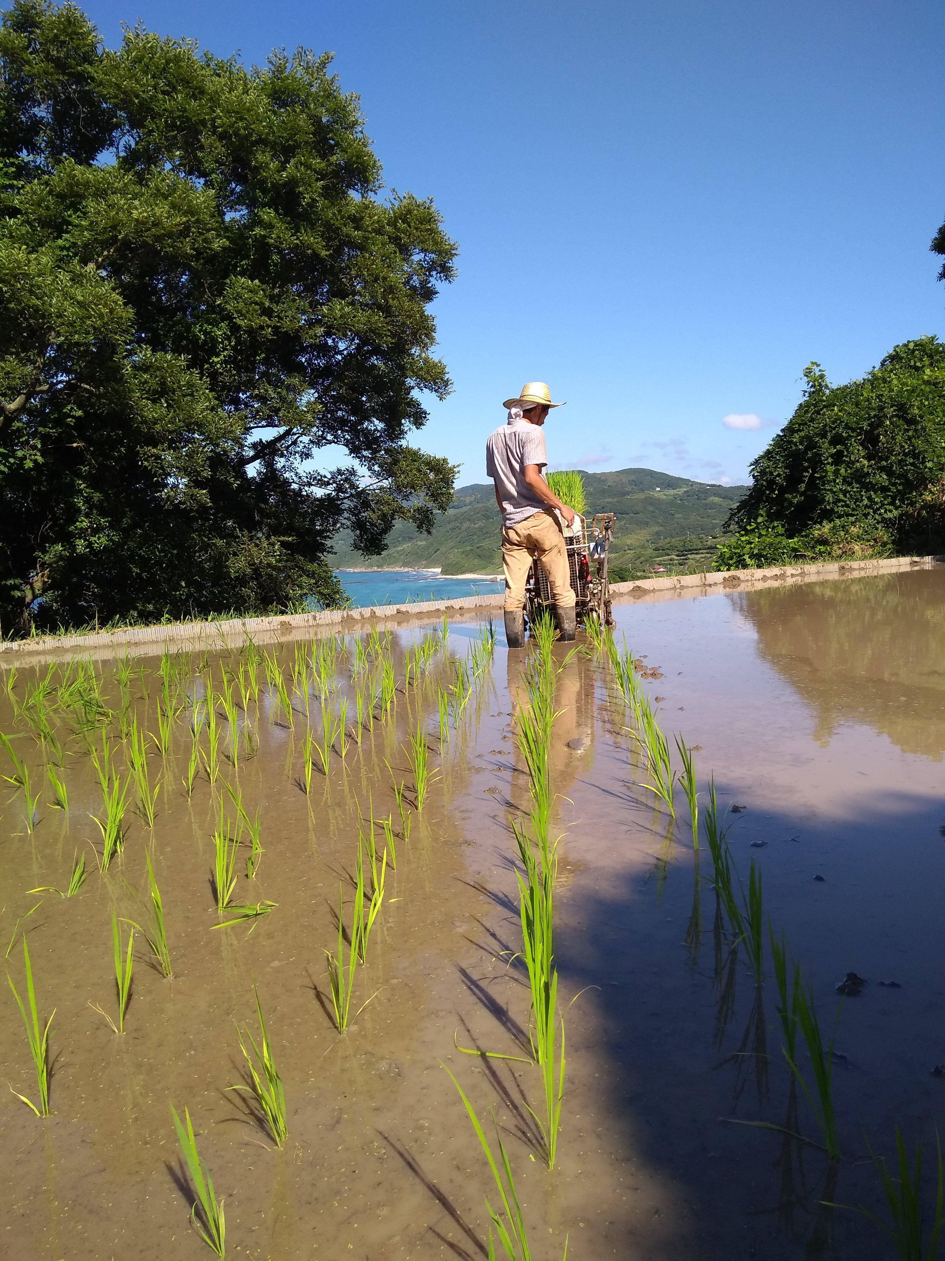 森の唱無農薬玄米。感覚を十分にとって田植えを行います。